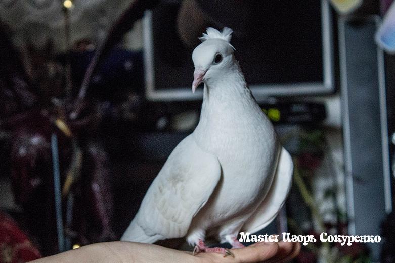 голуби на мероприятии